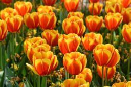 Bulbose primaverili Tulipani
