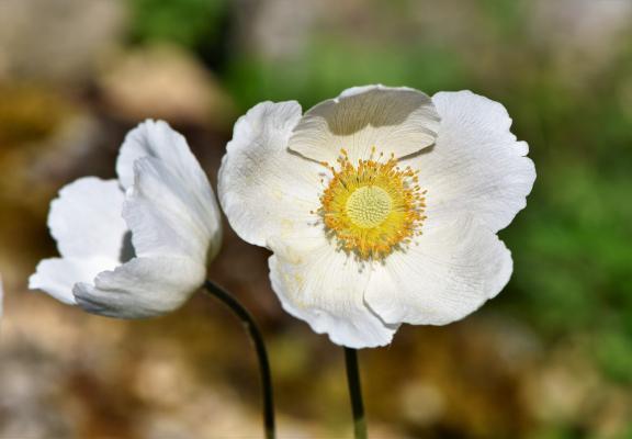 Bulbose primaverili: Anemone bianco