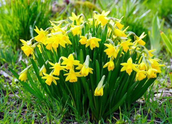 Bulbose primaverili: narcisi gialli