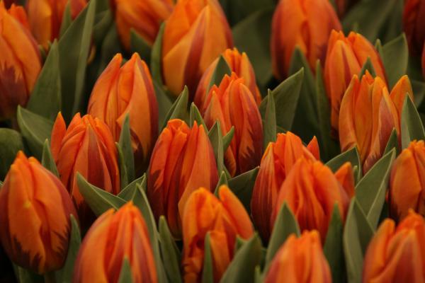 Bulbose primaverili: tulipani chiusi