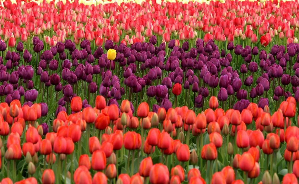 Coltivazioni di tulipani in Olanda