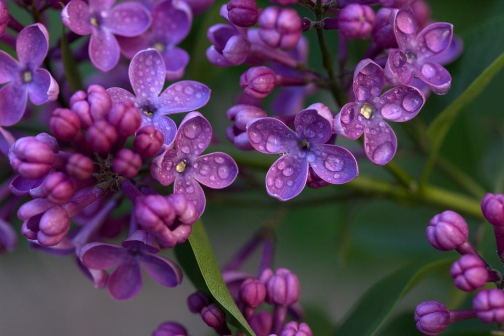 Fiori e boccioli di lilla