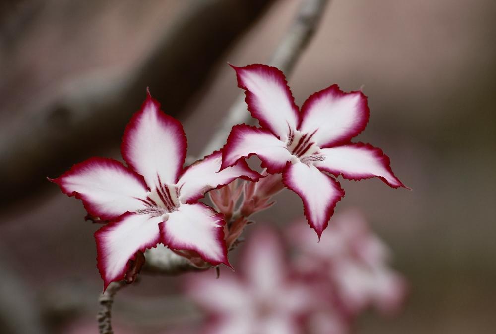 Splendidi fiori di giglio