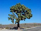Albero di Giosuè o Joshua Tree