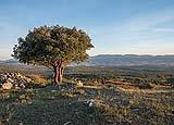Un albero di Leccio