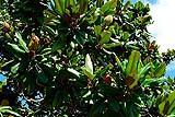 Un albero di Magnolia Grandiflora
