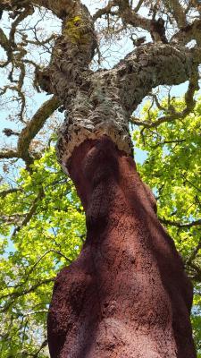 Tronco di una quercia da sughero