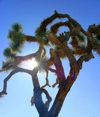 Le strane forme dell'albero di Giosuè