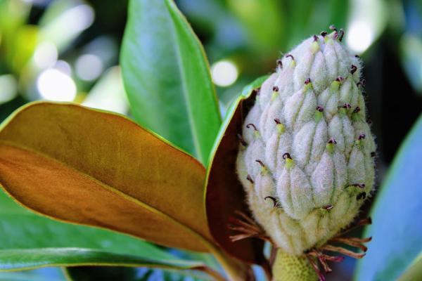 Foglie e infiorescenza a fine ciclo della Magnolia Sempreverde