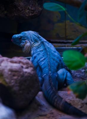 Iguana in un terrarium Foto di Sandy Torchon da Pexels