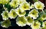 Fiori di petunia gialli