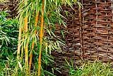 Una pianta di bambù