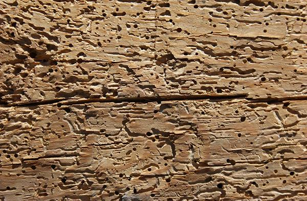 Wood with numerous worm holes