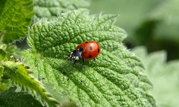 The ladybug is a valid ally against the cochineal