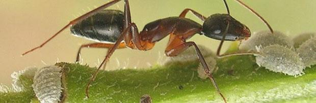 An ant that breeds mealybugs