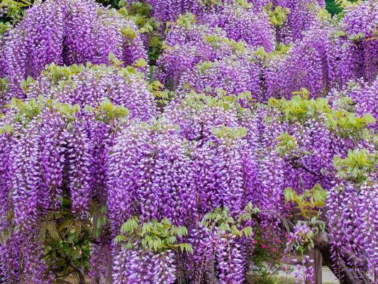 Fiori di Glicine da lovethegarden.com
