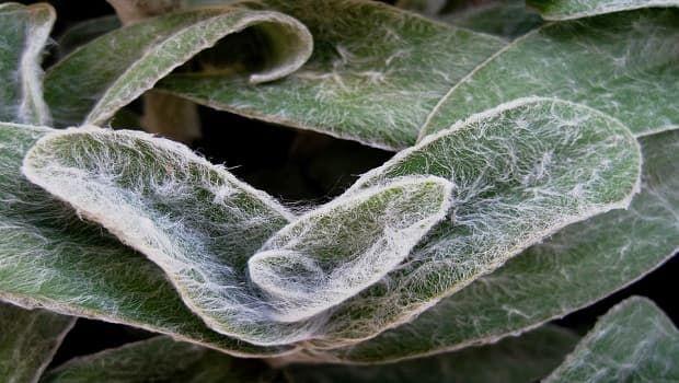 Stachys byzantina: scopriamo la pianta a forma di orecchie d'agnello
