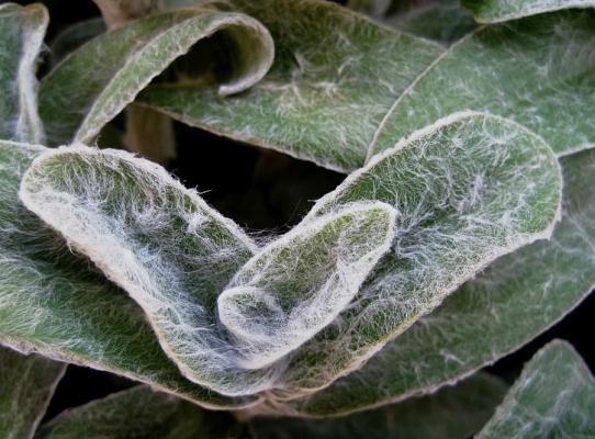 Le foglie della Stachys byzantina