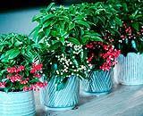 Piante di Ardisia bospremium a confronto con la varietà dalle bacche rosse. Foto by Bospremium.com