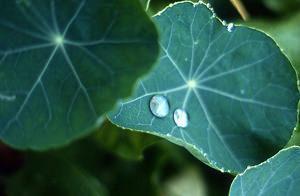 foglie Tropeolo
