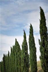 Alberi da giardino: cipressi