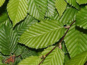 Carpino betulus