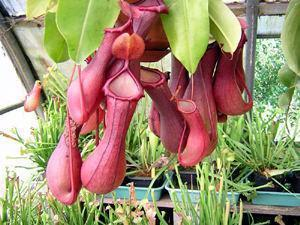 Piante esotiche Marsure: Nepenthes
