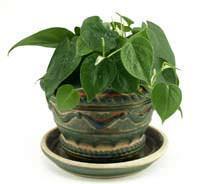 Filodendro in un vaso di stile sud americano