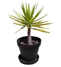 Yucca con ingiallimento delle foglie