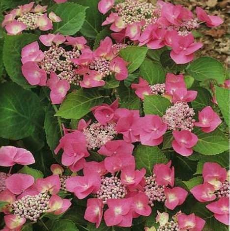 Nuove essenze floreali: esempio di Ortensie