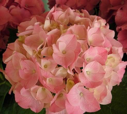 Nuove essenze floreali: esempio di Ortensia