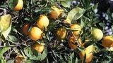 I fiori d'arancio