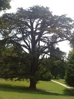 Cedro del Libano, Giardino inglese Reggia di Caserta