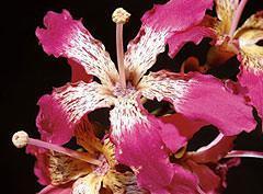 Il fiore Fuchsia