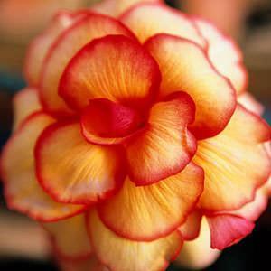 Begonia colorata