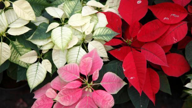 Stella Di Natale Cura E Manutenzione.Stella Di Natale Come Conservarla Dopo Le Feste