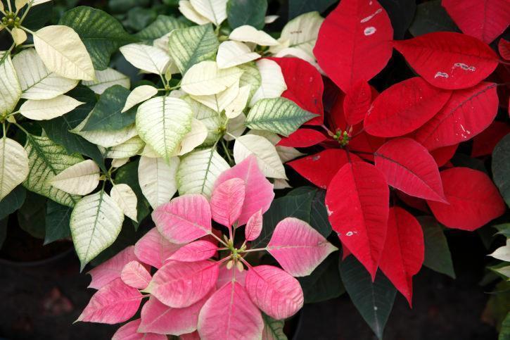Stella di Natale: un esemplare di Poinsettia dalle coloratissime brattee
