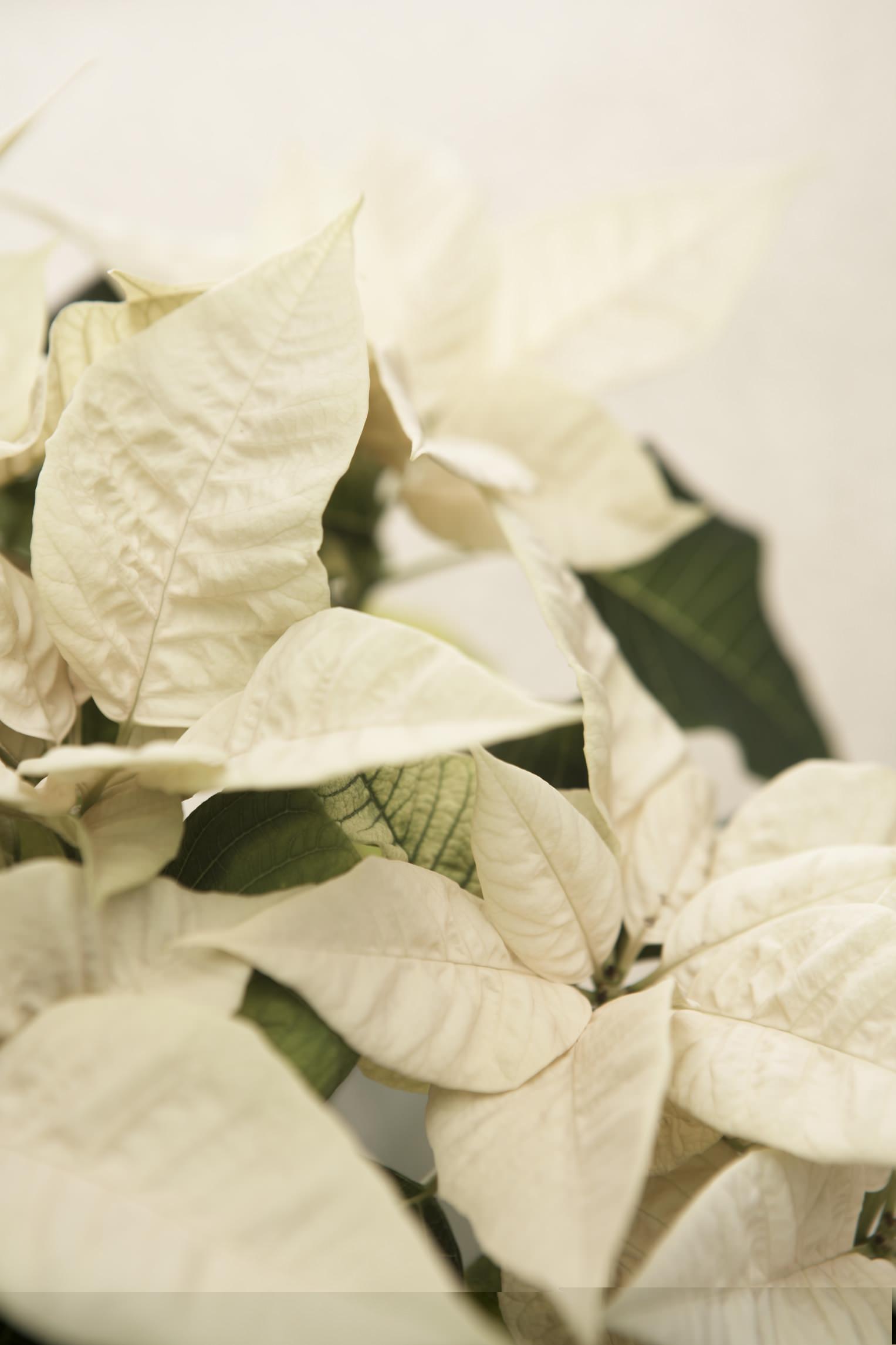 Stella di Natale: Poinsettia dalle brattee bianche