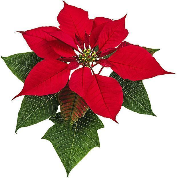 Stella di Natale: Christmas Red Poinsettia Flowers