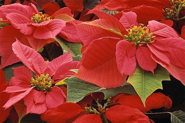 Stella di Natale ovvero la Euphorbia pulcherrima