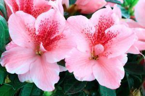 Azalea, Rhododendron simsii