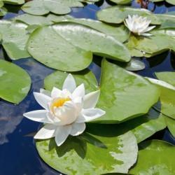 Ninfee da laghetto for Piante acquatiche laghetto giardino
