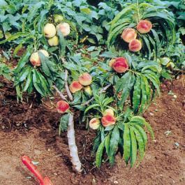 Frutticoltura in miniatura for Ingegnoli piante