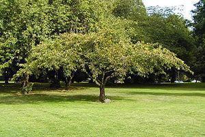 Varietà di ciliegio giapponese, idela per giardini medi