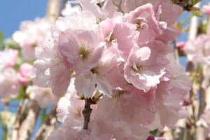 Prunus  amanogawa, particolare del fiore
