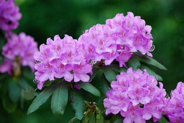 Piante acidofile: il rododendro