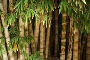 Bamb multiuso - Canne bambu in vaso ...