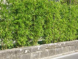 Siepe Di Bambu.Bambu Multiuso
