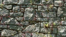 Piante infestanti sui muri in pietra