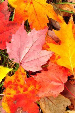 tipiche foglie quercia rossa